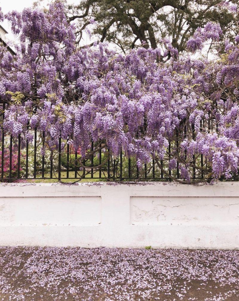 lilac scene