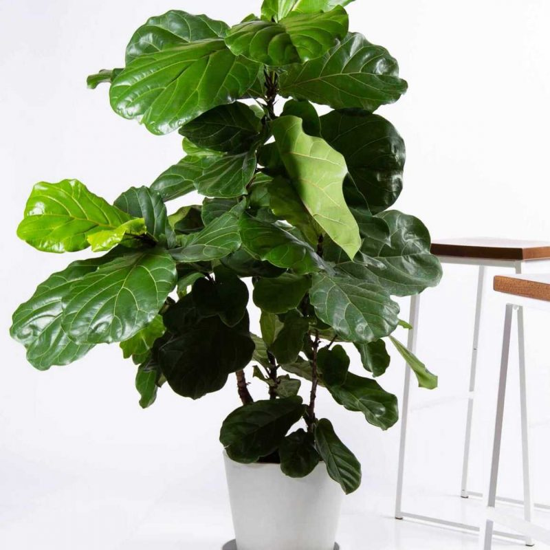 Fiddle Leaf Fig from Bloomscape